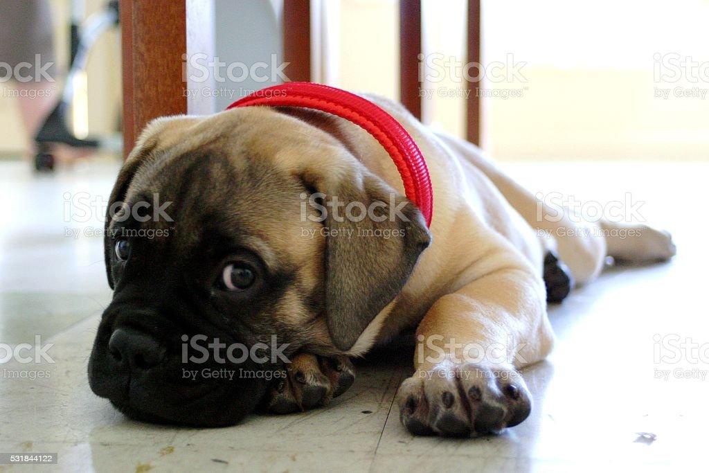 Cute Bull Mastiff Puppy with Red Collar stock photo