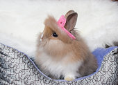 Cute bunny lionhead rabbit background