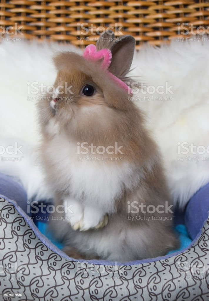 Cute bunny lionhead rabbit standing two legs stock photo