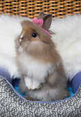 Cute bunny lionhead rabbit standing two legs