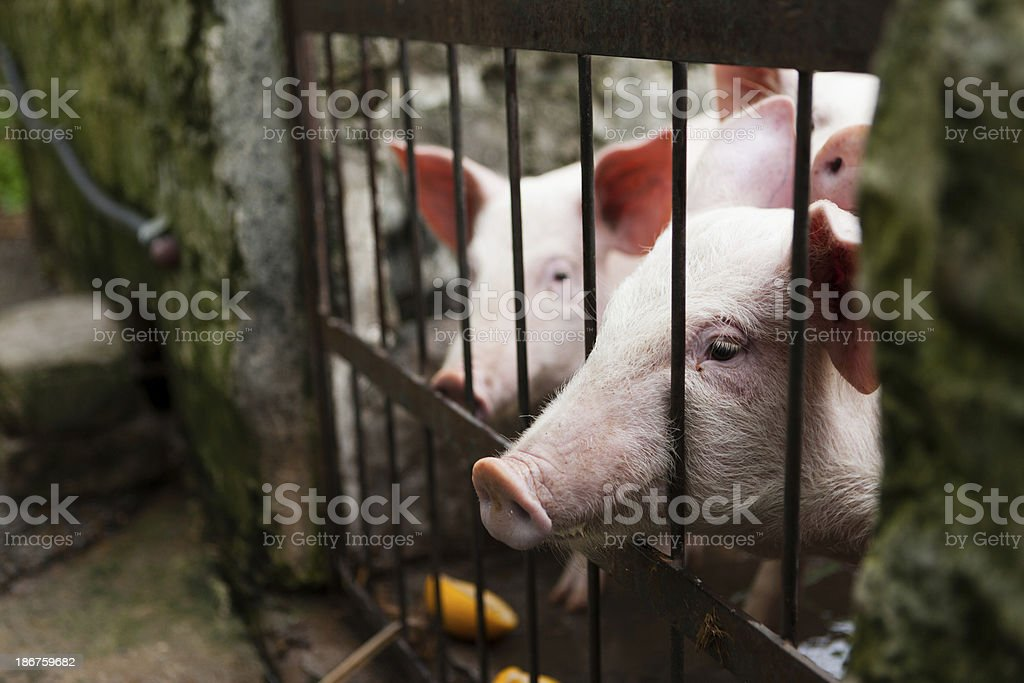 Cute but caged young pigs begging stock photo