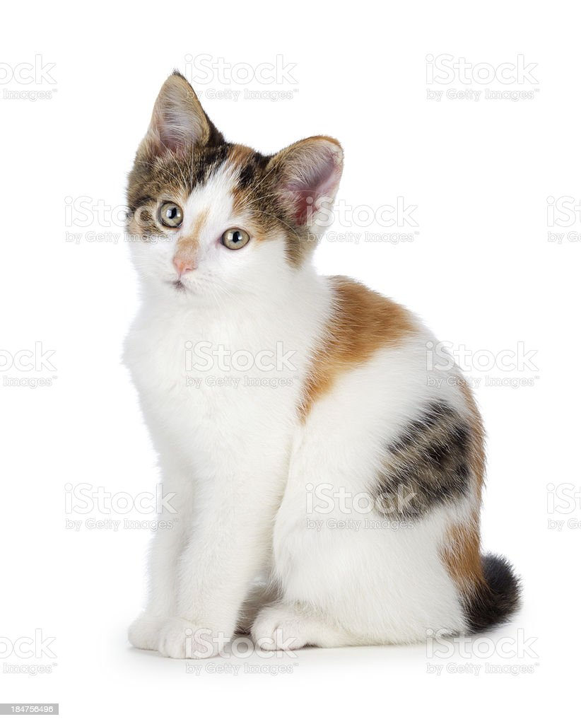 Cute calico kitten on a white background. stock photo