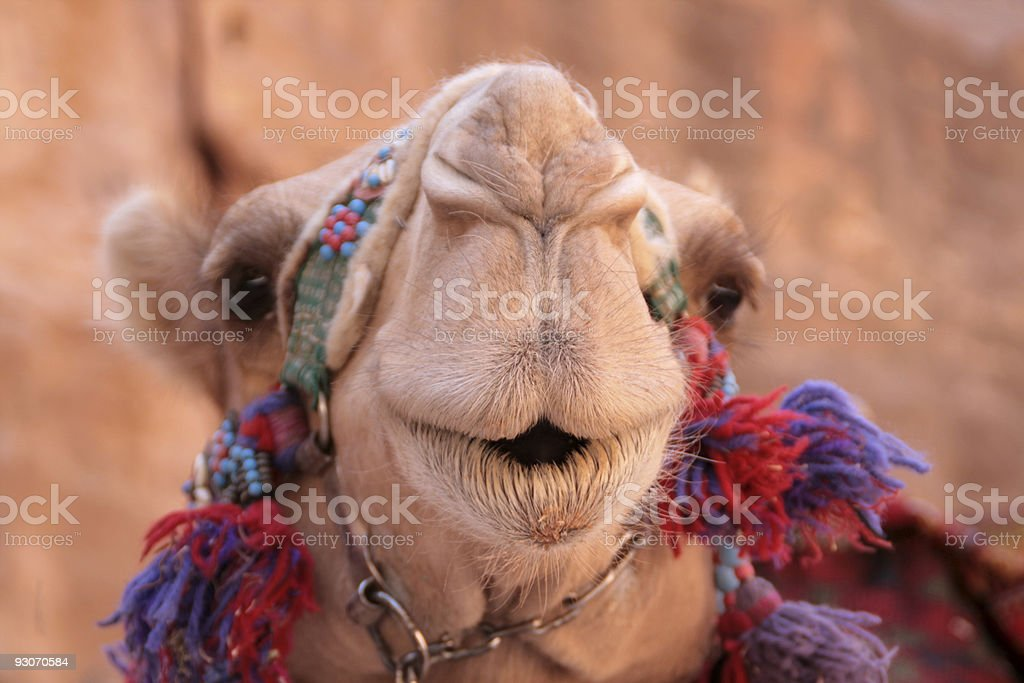Cute camel face royalty-free stock photo