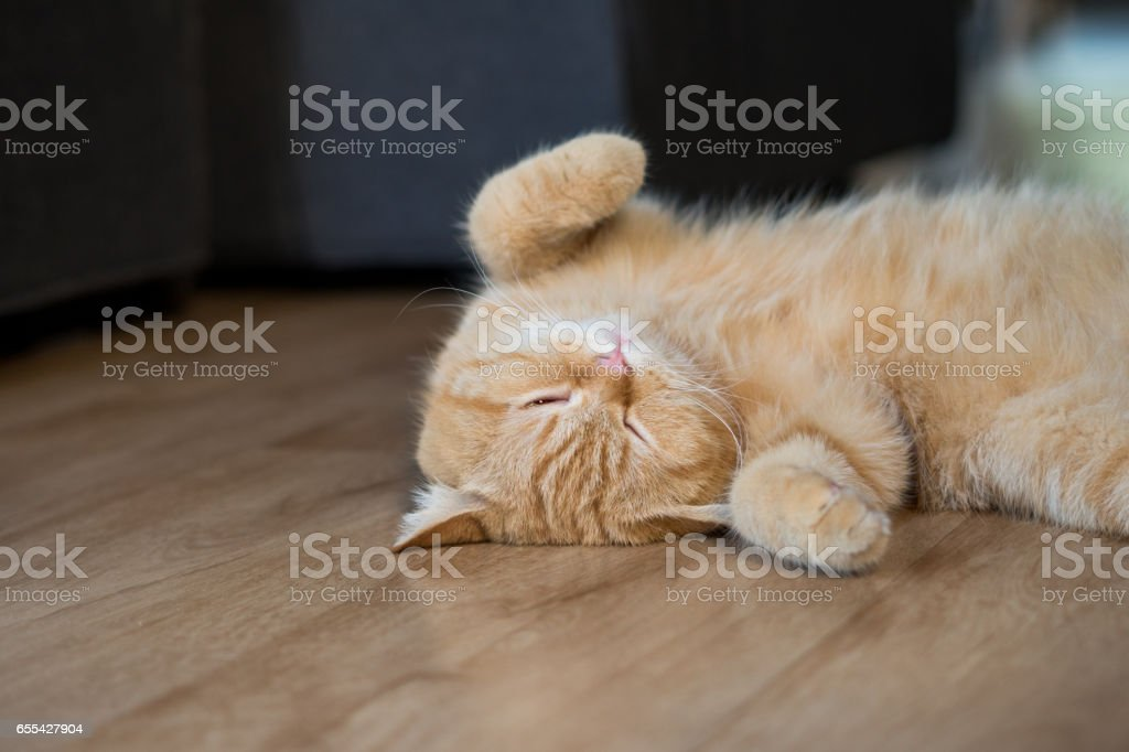 cute cat american short hair sleeping stock photo
