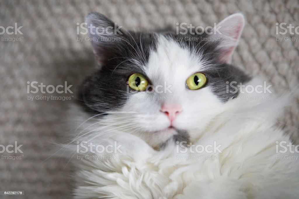Cute Cat Face Looking Up At Camera stock photo