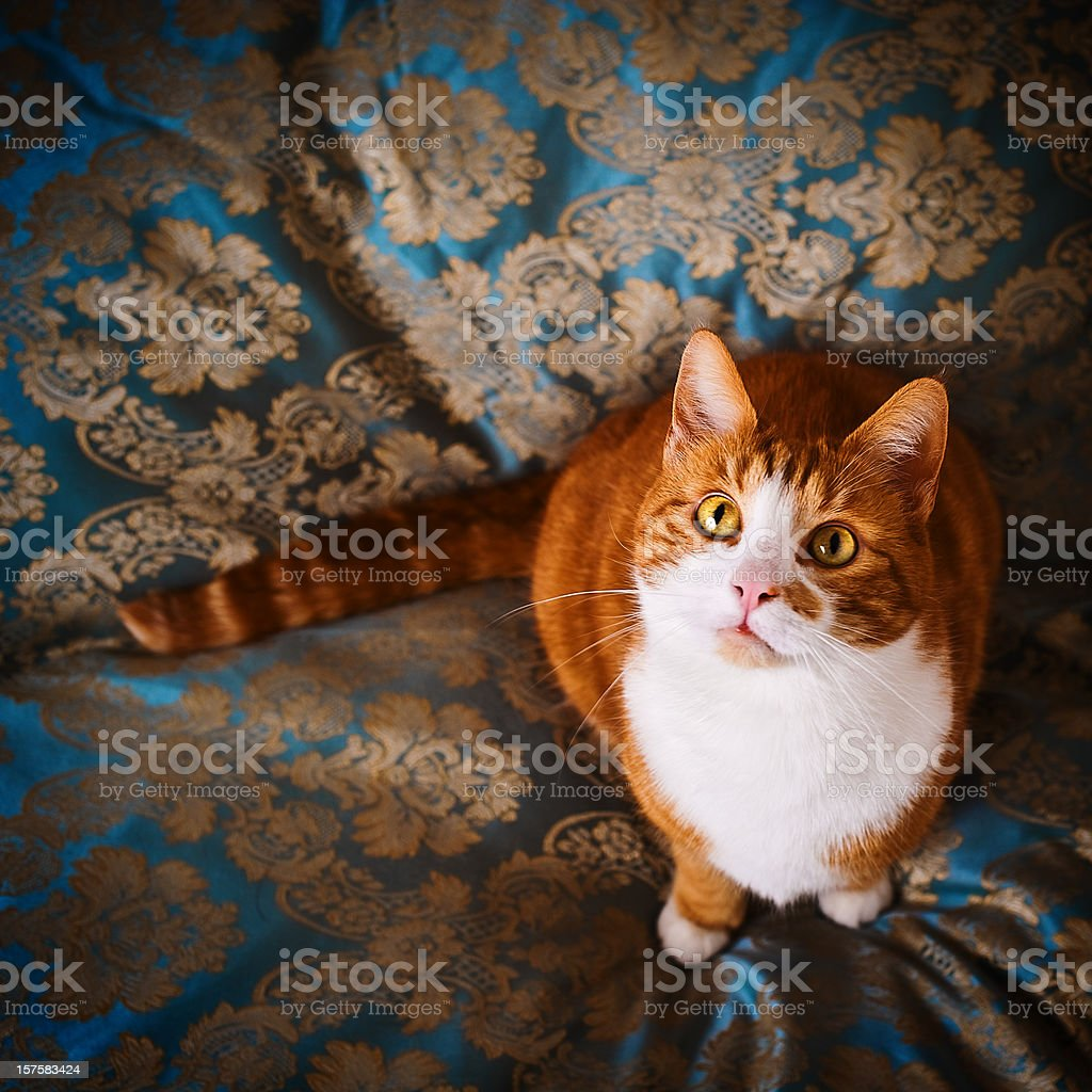 Cute cat named Nisse royalty-free stock photo