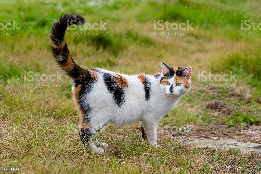Cute cat standing on grass with its raised tail stock photo