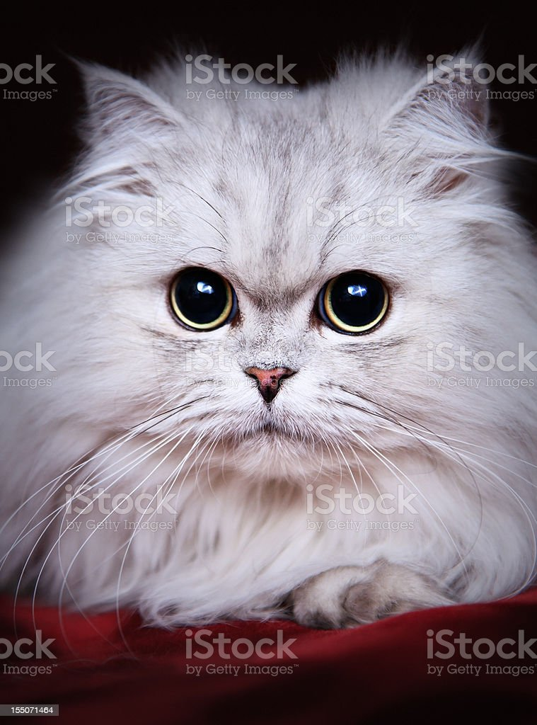 Cute Cat with big persuasive eyes stock photo