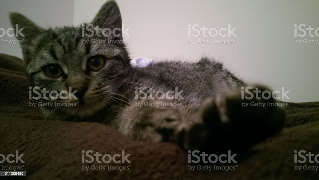 cute cat with stripes posing in bed stock photo