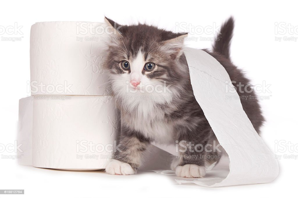 Cute cat with toilet paper stock photo