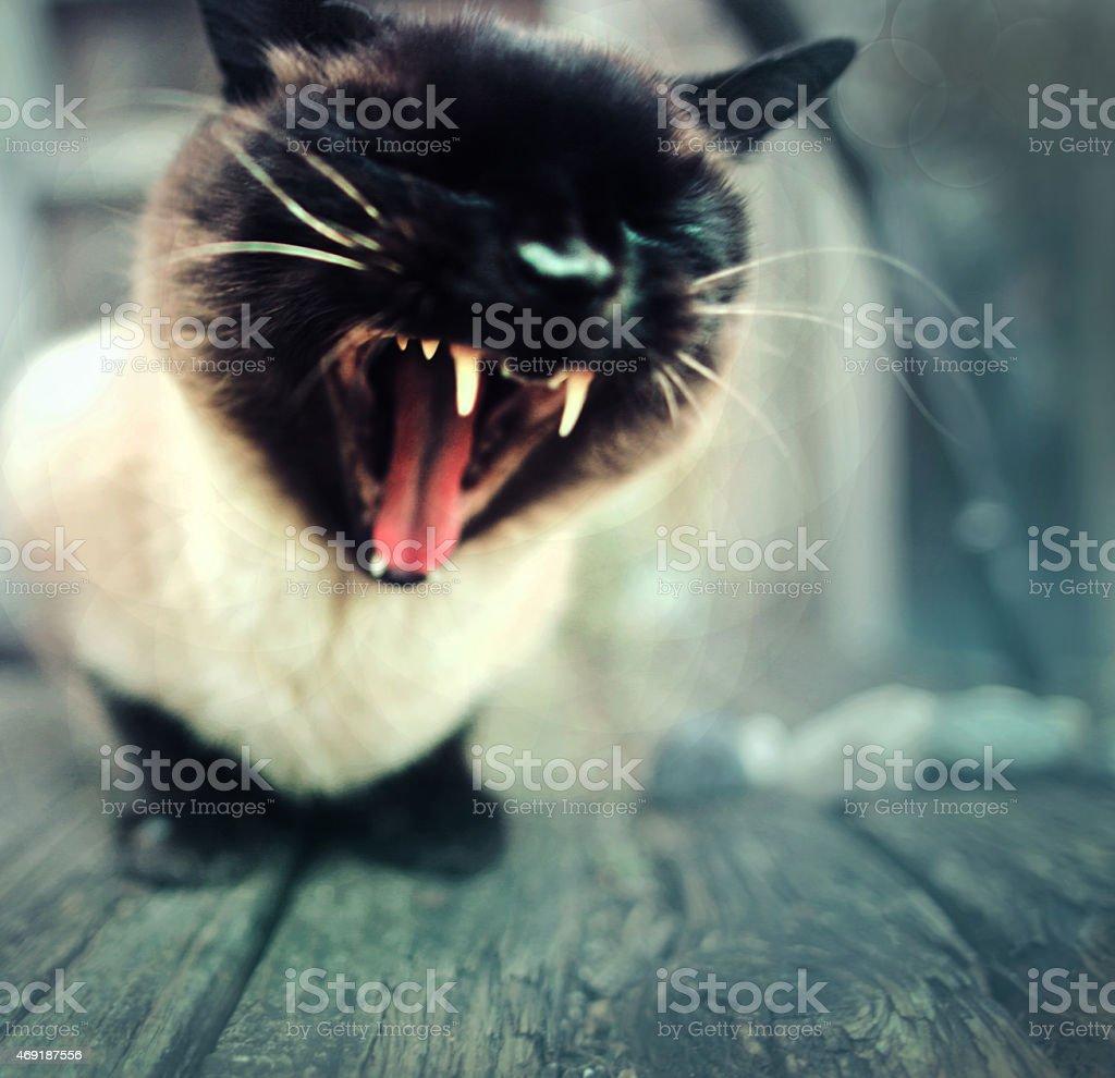 cute cat yawning or yelling stock photo