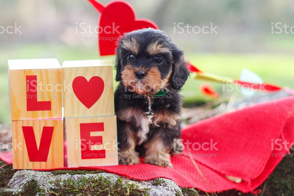 Cute Cavapoo puppy stock photo