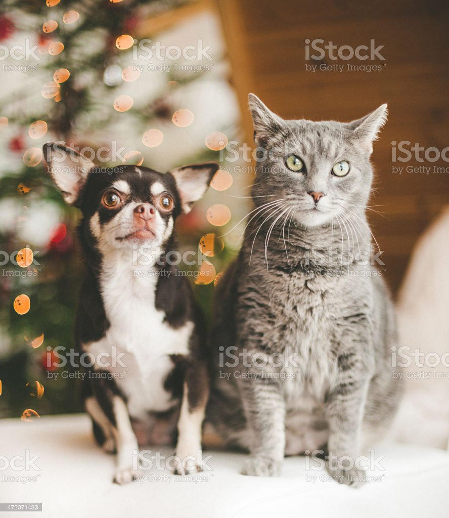 Cute chihuahua and cat infront of christmas tree stock photo