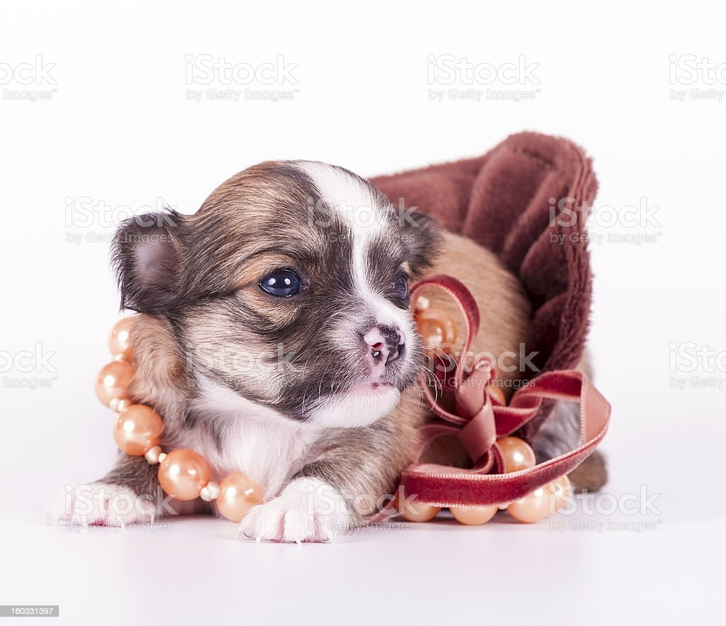 cute chihuahua baby decorated with beads on  velvet ribbon royalty-free stock photo