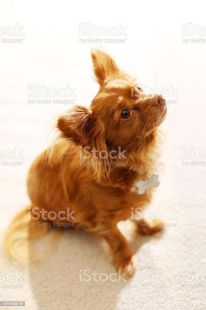 Cute Chihuahua dog stock photo
