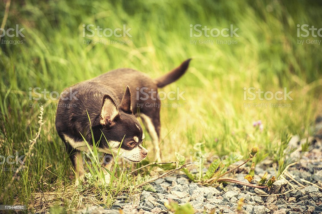 Cute Chihuahua in high grass stock photo
