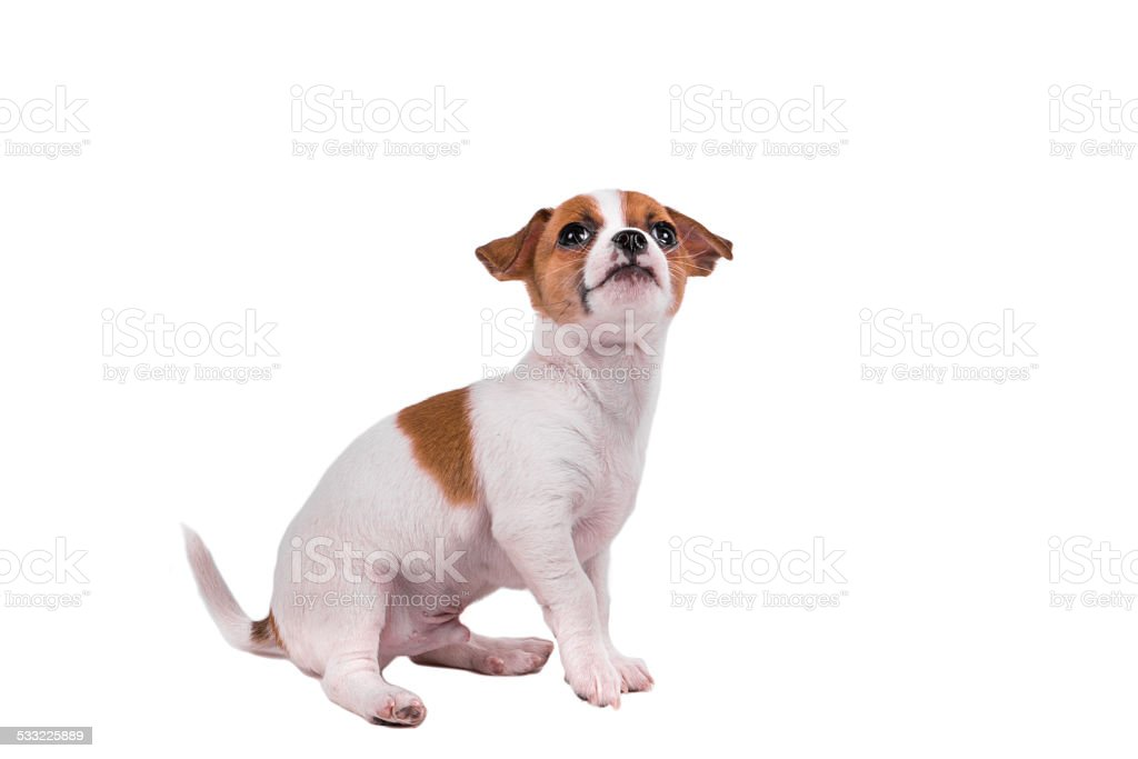 cute chihuahua puppy looking up stock photo