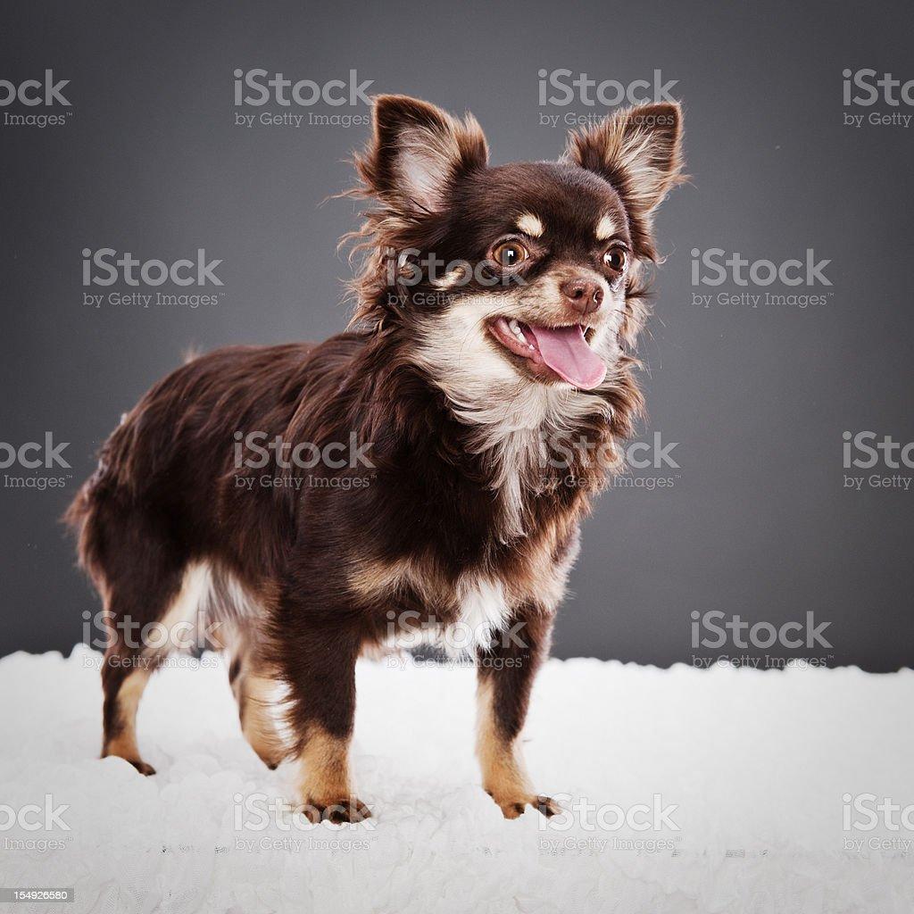 Cute Chihuahua puppy stock photo