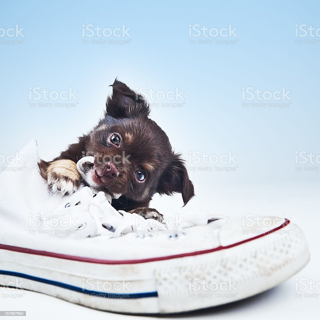 Cute chihuahua puppy stock photo