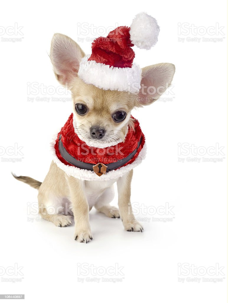 cute Chihuahua puppy with Santa costume royalty-free stock photo