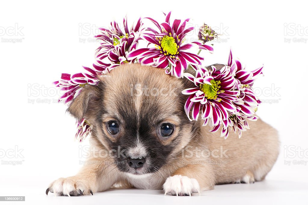 cute chihuahua puppy with wreath of  chrysanthemums flowers royalty-free stock photo