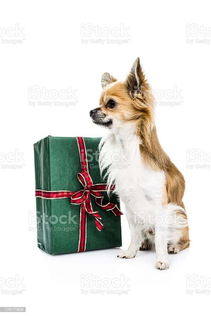 Cute Chihuahua with Present stock photo