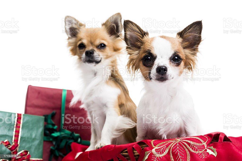 Cute Chihuahuas stock photo
