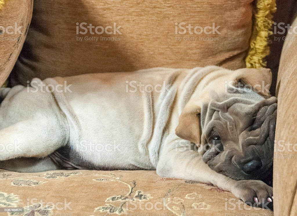 Cute Chinese Shar Pei Puppy Relaxing On A Cushion stock photo