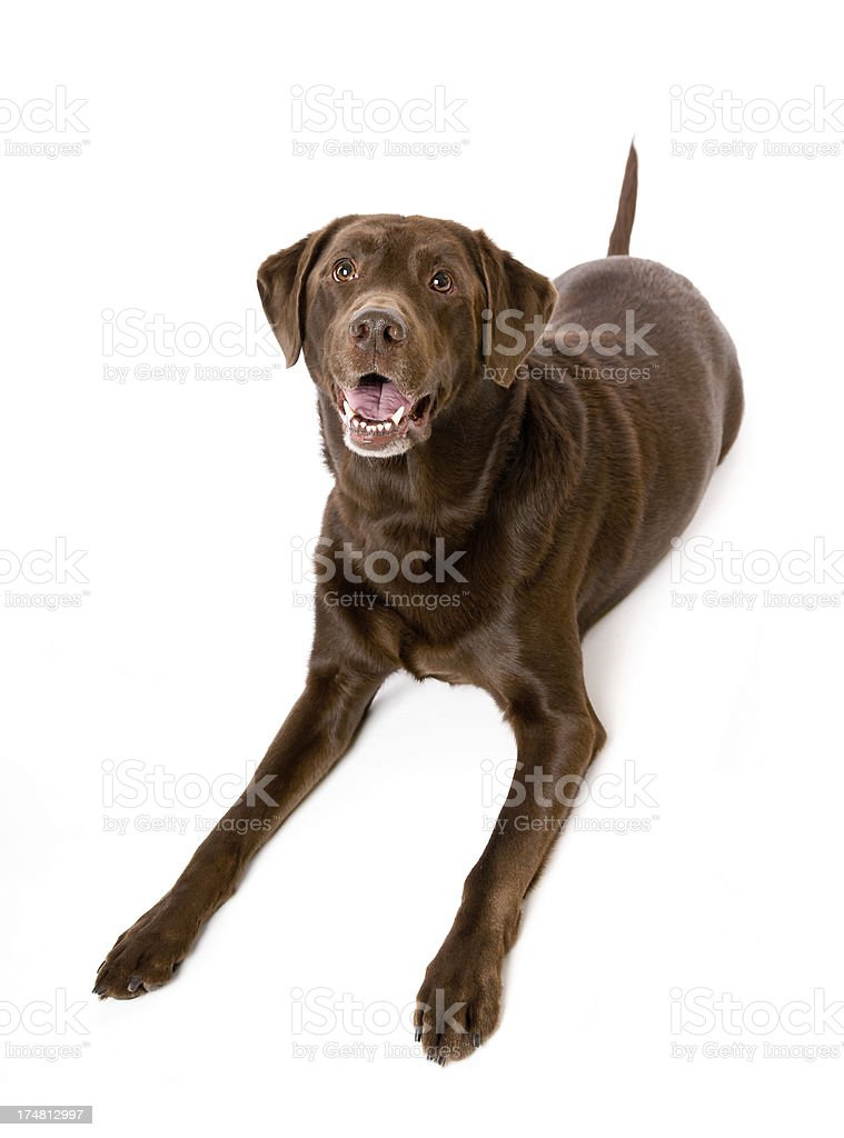 Cute Chocolate Labrador Retriever Dog Isolated on White stock photo