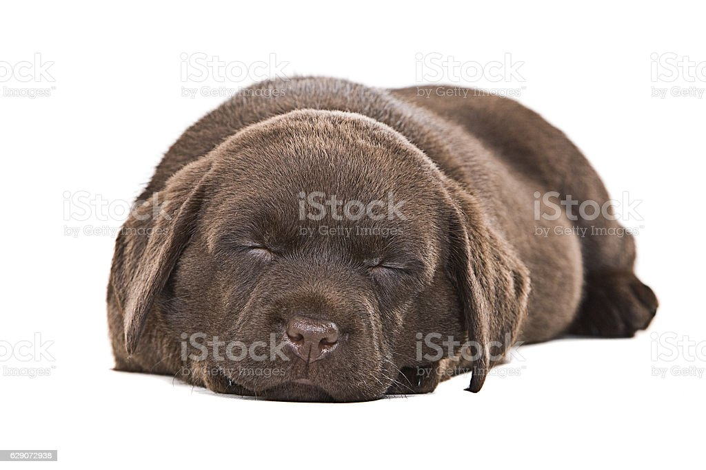 Cute Chocolate Labrdador Asleep stock photo
