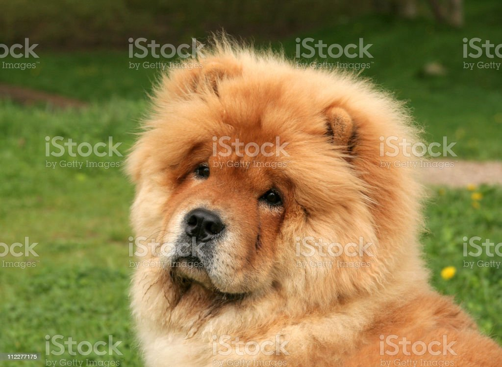 Cute chow-chow puppy sitting on grass stock photo