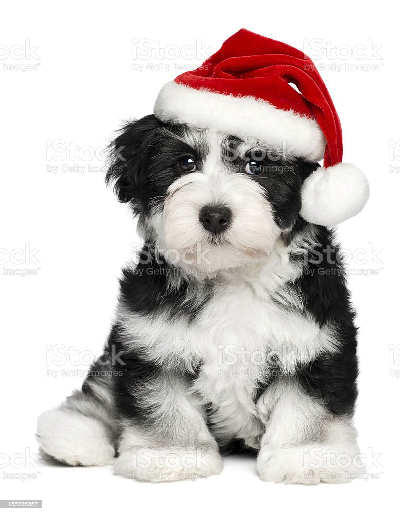 Cute Christmas Havanese puppy dog with a Santa hat stock photo