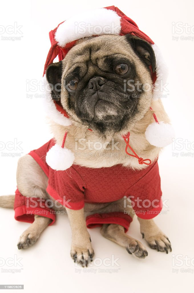 Cute Christmas Pug on White stock photo