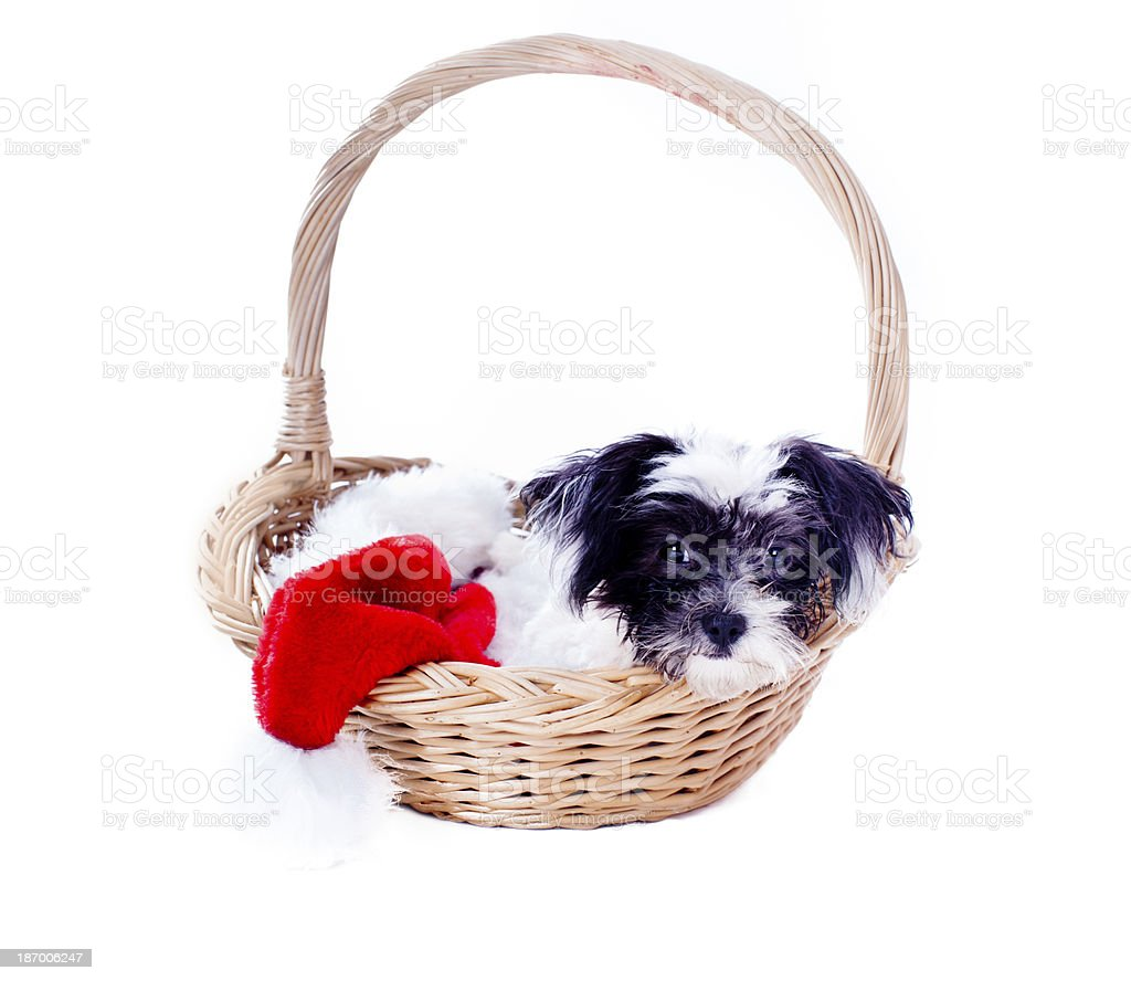 Cute Christmas Puppy stock photo