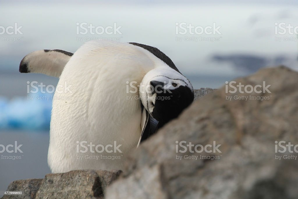 Cute closeup of Chinstrap penguin (Pygoscelis antarctica) stock photo