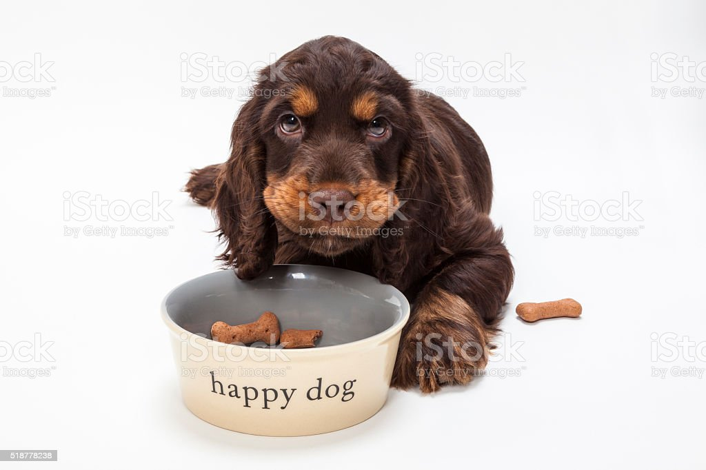 Cute Cocker Spaniel Puppy Dog Eating Biscuits in Bowl stock photo