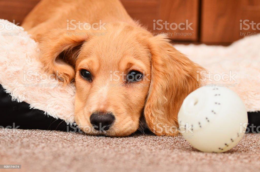 Cute Cocker spaniel puppy stock photo