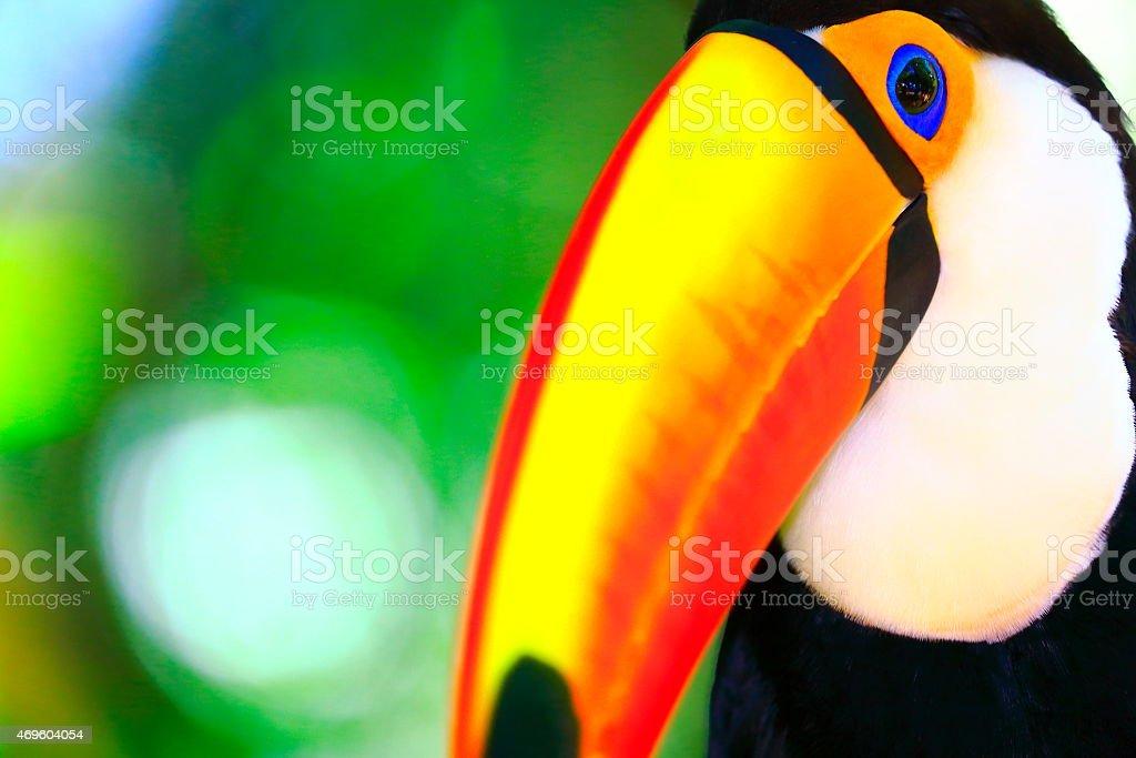Cute colorful tropical toucan bird profile portrait, Brazil stock photo