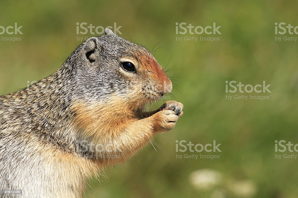 Cute Columbian Ground Squirrel royalty-free stock photo