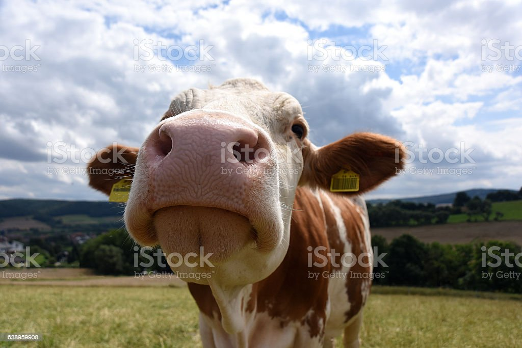 Cute Cow Nose stock photo