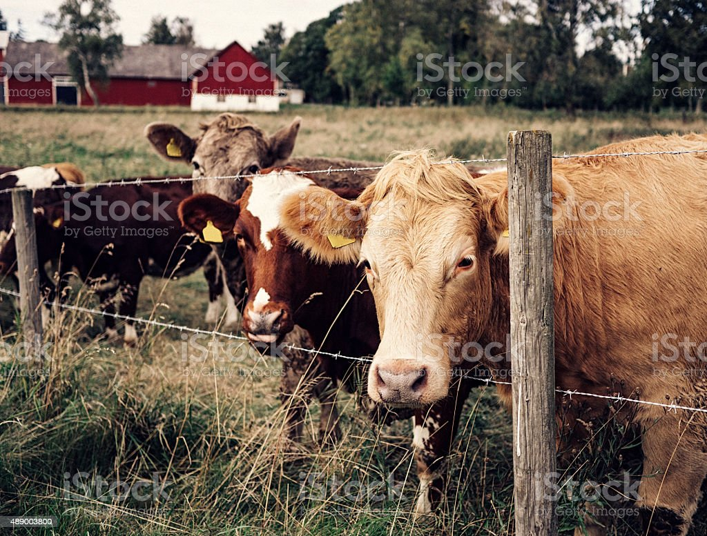 Cute cows outdoors in autumn nature stock photo