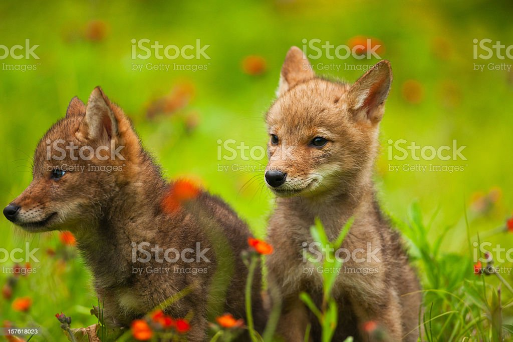 Cute coyote pups playing in wildflowers. stock photo