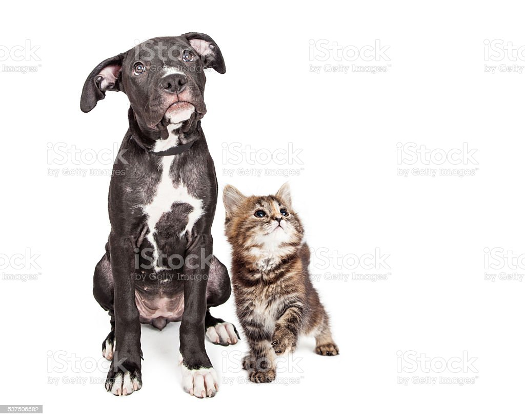 Cute Curious Puppy and Kitten Looking Up Together stock photo