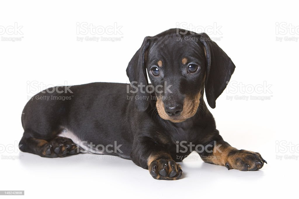 A cute dachshund dog laying against a white background royalty-free stock photo