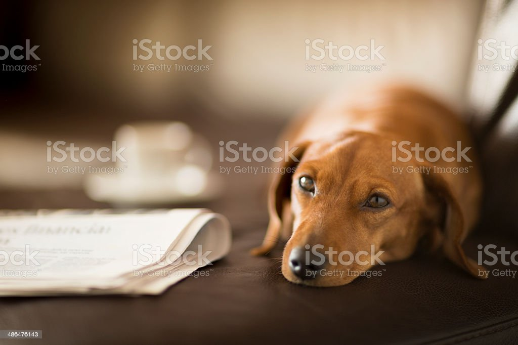 Cute dachshund dog lying next to newspaper and coffee cup stock photo