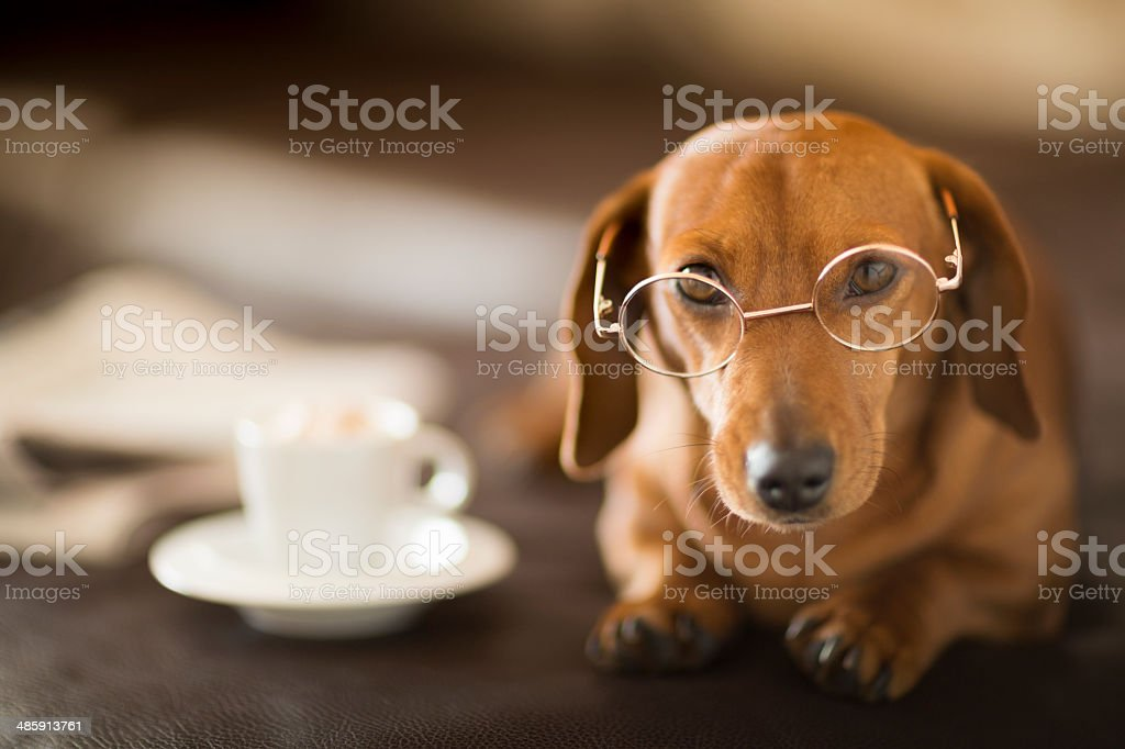 Cute Dachshund dog sat next to newspaper and coffee cup stock photo