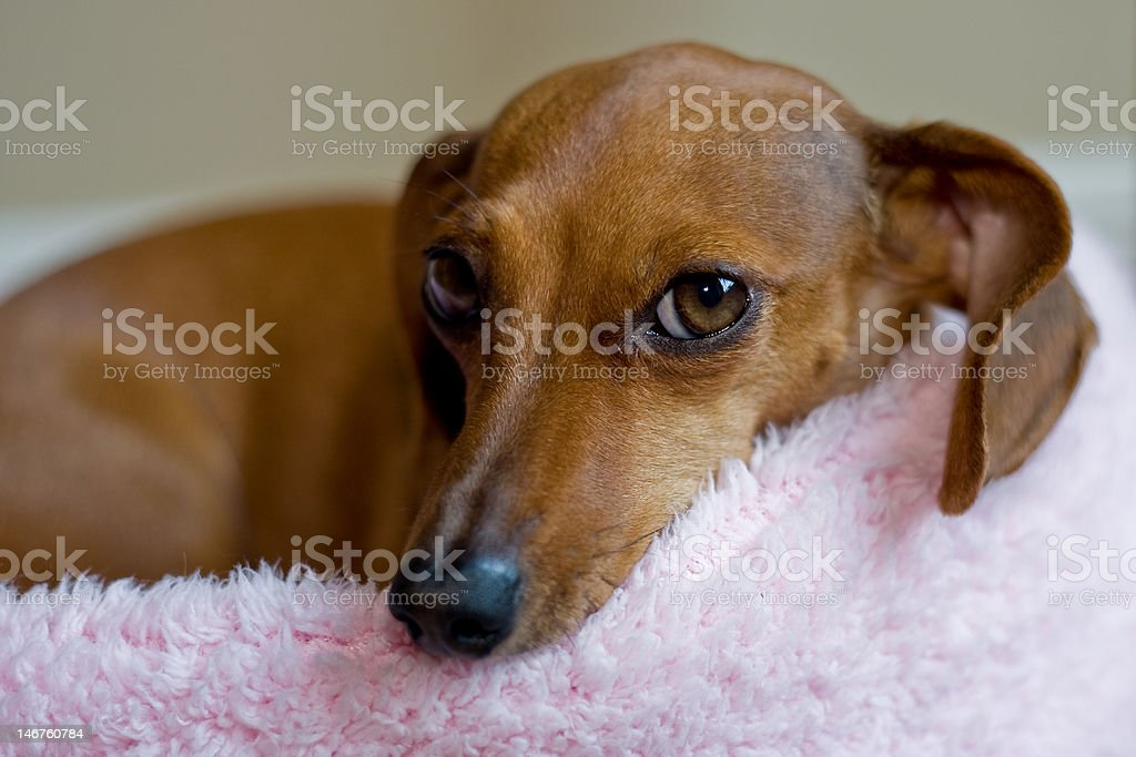 Cute Dachshund  in a bed royalty-free stock photo