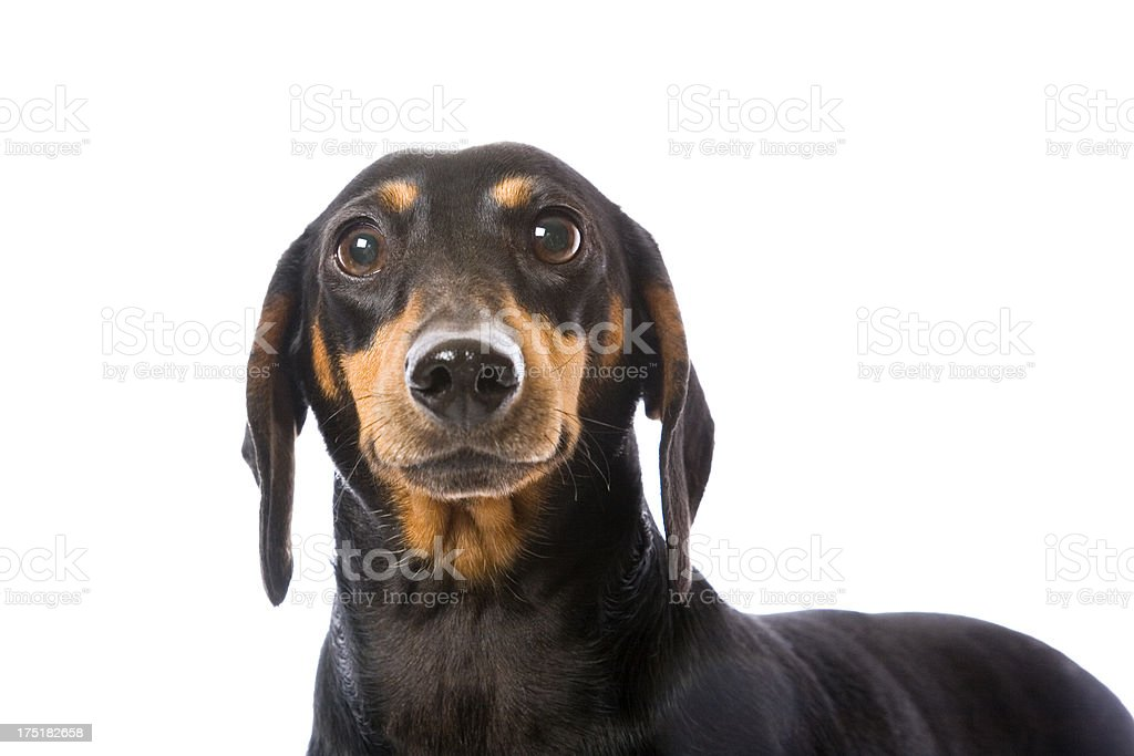Cute Dachshund royalty-free stock photo