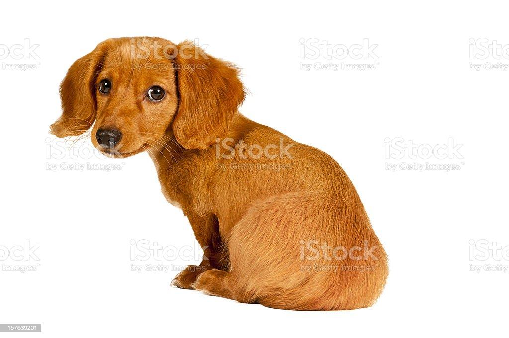 Cute Dachshund Puppy royalty-free stock photo