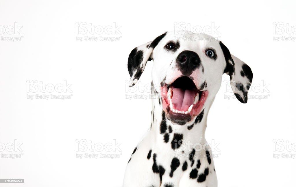 cute dalmatian stock photo